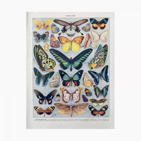 """Illustration ancienne Millot, \""""Papillons\"""""""
